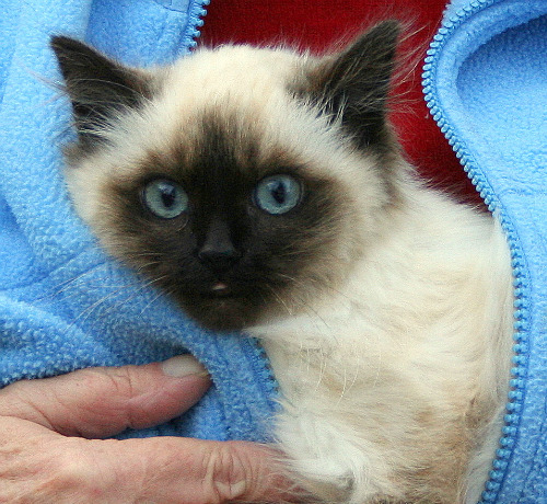 cute cat ragdoll in jacket