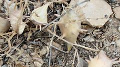 Glossonema varians