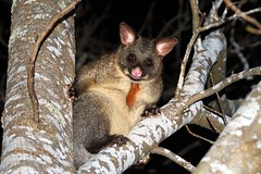 brushtail (toby2tot) Tags: possum australia tasmania species derby thirteen brushtail marsuipal