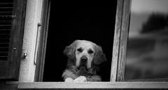 . (nepalbaba) Tags: dogs window switzerland ticino finestra svizzera 2009 goldenretriver cani malcantone boscoluganese bej impressedbeauty paololivornosfriends allegrisinasceosidiventa gigilivornosfriends renatatmexnepalbaba