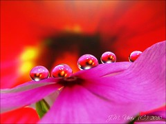 Crimson Pearls on Petals (uvaisjm - Al Seylani Photography) Tags: flowers red water dewdrops droplets flora pearls dew refraction vinca teardrops mywinners