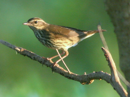 Northern Waterthrush 20101003