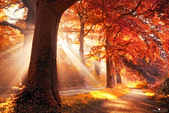 fall on fire (larsvandegoor.com) Tags: autumn trees red fall nature leaves forest landscape path foliage sunrays    graal    platinumheartaward larsvandegoor thesecretlifeoftrees   allofnatureswildlifelevel1