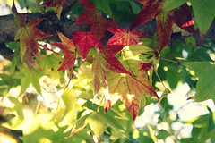 The Leaves, They Are a Changin' (Sweet.Eventide) Tags: autumn trees red sunlight green fall leaves poppytalk mondaygreen autumncoloursweek