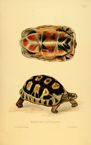 005-Testudo Angulata-Tortoises terrapins and turtles..1872-James Sowerby