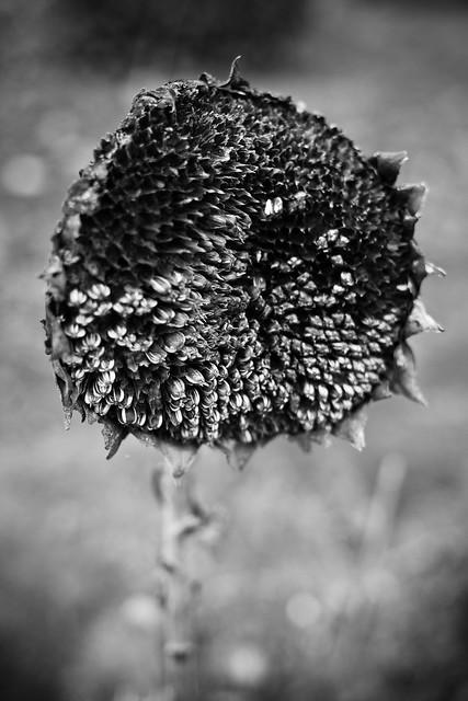 0910-dead-sunflower