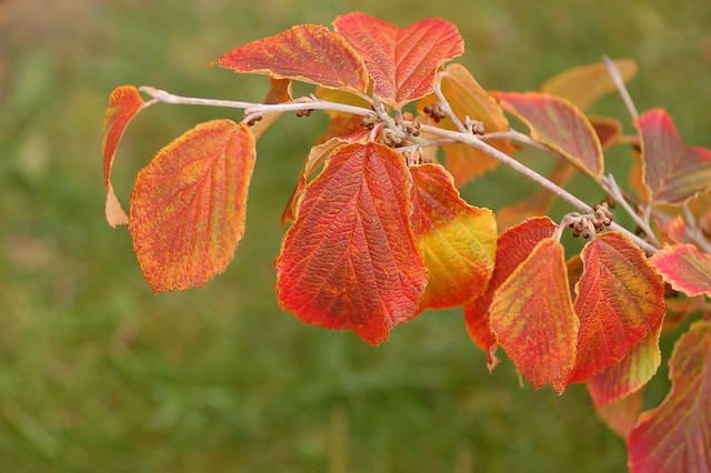 Hamamelis x intermedia 'Diane' - leaves of orange, yellow and red against a green background