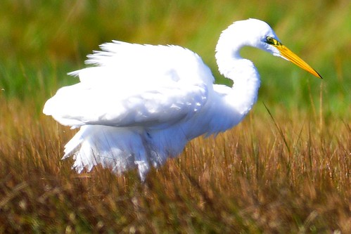 great egret fluffed up