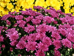 Mitchell's MUMs (Bruce Wise) Tags: autumn red usa flower fall colors yellow photoshop canon gold nc rust flickr blossom magenta northcarolina historic mums adobe wise craven mumfest 2010 cs4 newbern mitchellhardware