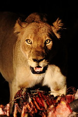 My dinner!!! (dean.wraith68) Tags: canon southafrica kill wildlife lion lioness big5 malamala specanimal