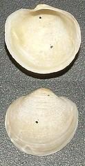 Lucinide Anodontia fragilis