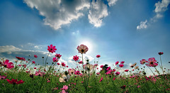 Cosmos 2 (Nacho Valo) Tags: pink flowers autumn sky flower verde green japan rosa cielo  otoo    japon cosmos     mywinners superaplus aplusphoto flickraward