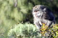 Monkey at Plawangan (JenniferGan) Tags: mountain cute nature beautiful animal trekking canon indonesia fur monkey volcano amazing interesting october quality 85mm best ape f18 creature apes lombok 2010 naturallighting rinjani ntb canonef85mmf18 fixedlens primelens 50d canon50d mediumtelephoto westnusatenggara october2010 southeaastasia