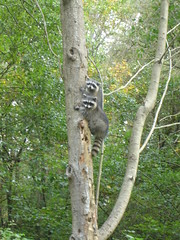Baby Raccoons Des Moines, WA 5 Oct 2010