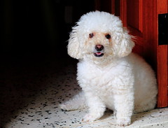 Tinker (ChR!s H@rR!0t) Tags: dog toy poodle tinker