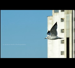 Kamikaze Pilot #1 (Andrea Kollo Photography) Tags: seagulls bird nature birds dof collingwood wasaga bokeh seagull georgianbay milleniumpark depthoffield shipyard wasagabeach bluemountain ontariocanada ontarioyourstodiscover collingwoodontario nottawasagabay collingwoodharbour andreakollo andreakollophotographer collingwoodpier collingwoodterminalbuilding