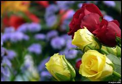 With Luv..... ( saGars) Tags: flower rose lumix colorful bokeh bangalore kerala panasonic fz flowershow 38 lalbagh trivandrum prosumer lalbaugh sagars fz35 lumixfz35 panasoniclumixfz3538 sandeepsagars
