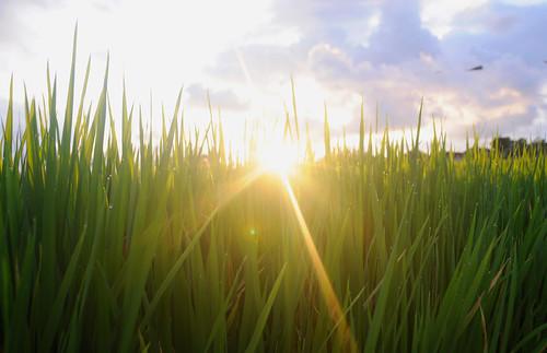 フリー写真素材, 花・植物, イネ科, 稲・イネ, 田畑・農場, 日光・太陽光線, インドネシア,