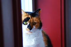 Marble (2lu22lu2) Tags: animal cat serious kitty greeneyes calico cateyes calicocat