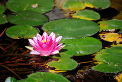 lily pad with flower