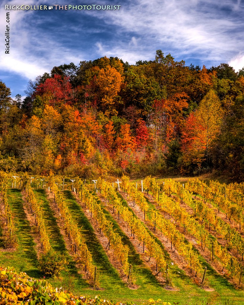 A vineyard echoes the brilliant autumn colors of surrounding woods at Mountainrose Vineyards in Wise VA (HDR Image).