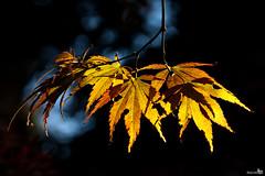 Yellow Autumn Leaves (BraCom (Bram)) Tags: autumn fall nature leaves forest woods herfst acer bos tistheseason coth vongimbornarboretum bracom