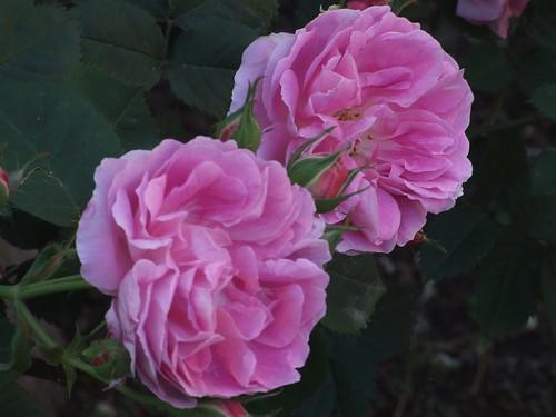 fiori 006