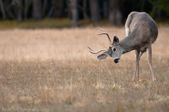 Buck Bow, Yosemite National Park (Nick Chill Photography) Tags: california male nature animal fauna mammal photography nikon respect image wildlife stock meadow antlers bow yosemitenationalpark buck muledeer animalia itch naturesfinest odocoileushemionus d300s sigma150500 nickchill