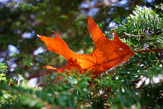 An oak leaf nestled among pine branches.