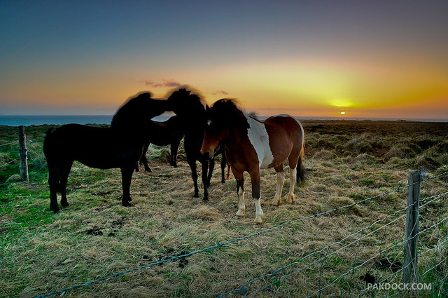 Horses at Vatnsnes, Iceland. B side.