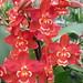 orchids_Wilsonara Nels Christensen Becky 013