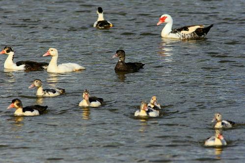 Eleven Muscovy ducklings 20101112