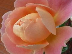 P1000005 (gzammarchi) Tags: italia rosa rimini fiore rugiada paesaggio paese camminata itinerario santarcangelo