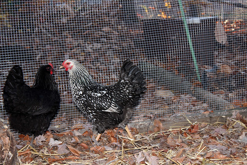 To the left is a glossy black chicken, facing three-quarters away from the camera.  She has a fluffy butt and her feathers exhibit a slight iridescent sheen of green.  To the right is a chicken whose white feathers are rimmed with black, seen from the side.  Through the wire (which is half-inch by half-inch galvanized hardware cloth, if you were wondering) you can see Noodlehead the cat's spiffy new winter home.