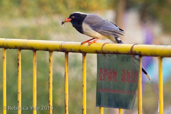 RYALE_Shaanxi_Birds_12