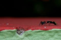 Formigas (Jackson Zanini) Tags: flor gato gata formigas formiga