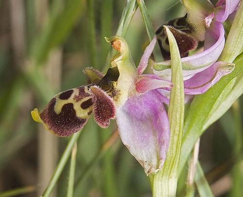 Ophrys scolopax? et errances taxinomiques - Page 2 5188234607_aecd6832de
