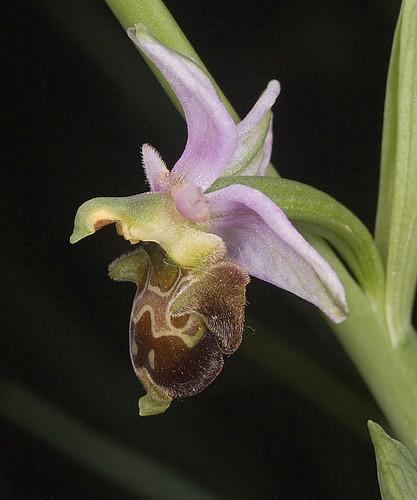 Ophrys scolopax? et errances taxinomiques - Page 2 5188235609_80856d39eb