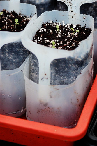 A self-watering plant pot made from a milk container.