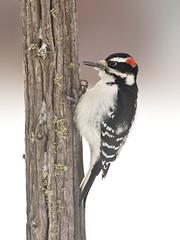 Backyard Hairy Woodpecker (Jeff Dyck) Tags: hairy birds backyard woodpecker perch hairywoodpecker picoidesvillosus dryden jeffdyck