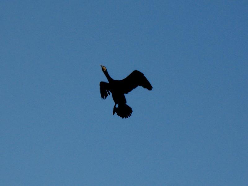 20-11-2010-cormorant17