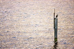 Alone in the middle of water (Hadi Photography) Tags: bird art thames river photography arts cormorant middle safa hadi   kadhim safakadhim hadiphotographyart hadiphotographyarts hadiphotographyandart    safaphotography safaphotographyandart safaphotographyart safaphotographyarts