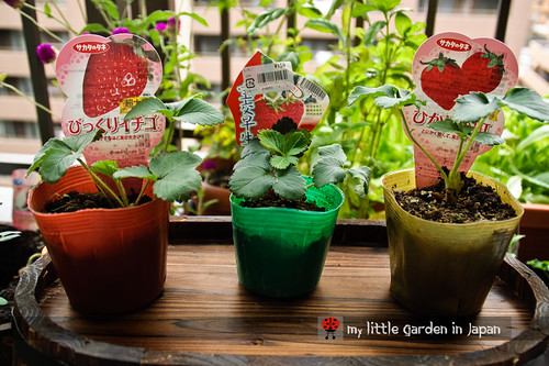 strawberries-in-my-little-garden-in-japan-3