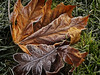 Frosty Leaves (tgstewart1) Tags: brown white cold green leaf frost mapleleaf thegalleryoffinephotography