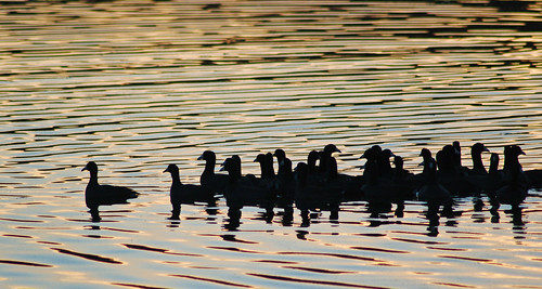 Coots in Evening Light