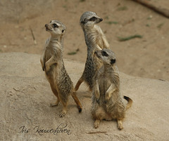 Meerkat Manor (Iris kouwenhoven) Tags: animal canon zoo meerkat rotterdam blijdorp badge suricatasuricatta stokstaart