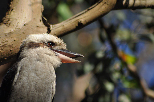 Close up of a kookaburra