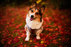the smiles of fortune (moaan) Tags: leica november red dog color smile thanks digital 50mm corgi dof bokeh diary f10 momiji kobe utata rokko noctilux welshcorgi gratitude hue 2010 fallenleaves m9 smileforme manythanks japansemaple withasmile pochiko leicanoctilux50mmf10 smileforyou leicam9  diaryofnovember gettyimagesjapanq1 gettyimagesjapanq2