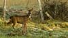 deer (The Neepster) Tags: scotland aberdeenshire deer alford january2009