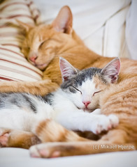 Tired cats (MHjerpe) Tags: sleeping two orange white closeup cat gray pillow couch indoors together